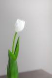 Белый тюльпан на серой предпосылке Стоковое фото RF