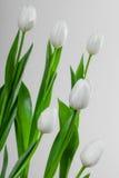 Белый тюльпан на серой предпосылке Стоковая Фотография