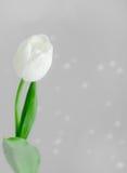 Белый тюльпан на серой предпосылке Стоковая Фотография RF