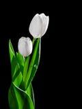 Белый тюльпан на черной предпосылке Стоковое фото RF