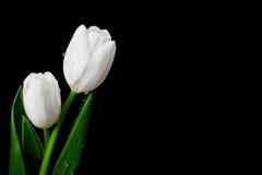 Белый тюльпан на черной предпосылке Стоковые Изображения RF
