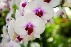 Белый фаленопсис орхидеи цветет на ветви с естественной предпосылкой Стоковые Изображения