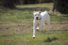 Белый ход Dogo Argentino собаки Стоковые Фото