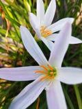 белый цветок во внешнем саде стоковые фотографии rf