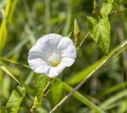 Белый цветок вьюнка Стоковое Фото