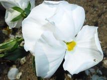 Белый цветок в саде стоковая фотография rf