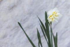 Белый цветок в юбке горы стоковая фотография