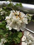 Белый цветок дома стоковые фото