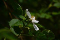 Белый цветок железной древесины зацветая на дереве Стоковая Фотография RF