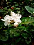 Белый цветок живота стоковые фотографии rf