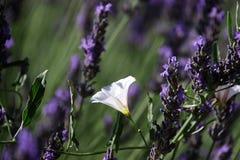 Белый цветок и лаванда стоковое фото rf