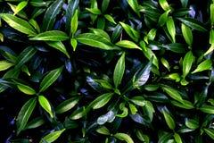 Белый цветок и листья зеленого цвета предпосылка Стоковое Изображение RF