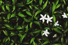 Белый цветок и листья зеленого цвета предпосылка Стоковые Фото