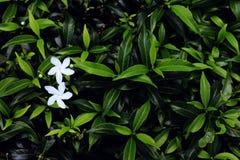Белый цветок и листья зеленого цвета предпосылка Стоковое Изображение