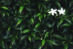 Белый цветок и листья зеленого цвета предпосылка Стоковая Фотография