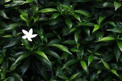 Белый цветок и листья зеленого цвета предпосылка Стоковая Фотография RF