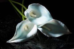 Белый цветок коалы стоковая фотография rf