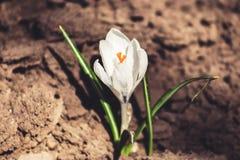 Белый цветок крокуса стоковые изображения rf