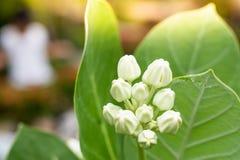 Белый цветок кроны в бутоне на запачканных предпосылках стоковые фото