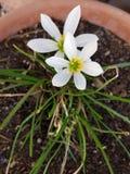Белый цветок лепестка Стоковое Изображение