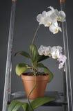 Белый цветок орхидеи в баке Стоковые Фото
