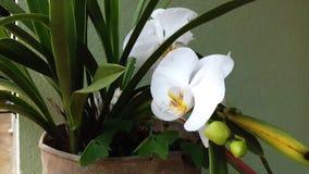 Белый цветок орхидеи, малый сад в Бразилии Стоковое Фото