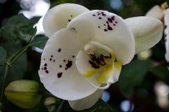 Белый цветок орхидеи стоковые изображения rf