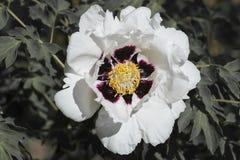 Белый цветок похожего на дерев пиона стоковое фото