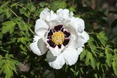 Белый цветок похожего на дерев пиона стоковые фото