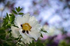 Белый цветок похожего на дерев suffruticosa Paeonia пиона стоковые изображения