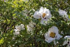 Белый цветок похожего на дерев suffruticosa Paeonia пиона стоковые изображения rf