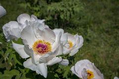 Белый цветок похожего на дерев suffruticosa Paeonia пиона стоковое фото