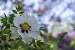 Белый цветок похожего на дерев suffruticosa Paeonia пиона стоковое изображение rf