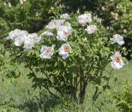 Белый цветок похожего на дерев suffruticosa Paeonia пиона стоковые фотографии rf