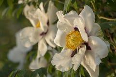 Белый цветок похожего на дерев suffruticosa Paeonia пиона стоковые фото