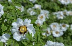 Белый цветок похожего на дерев suffruticosa Paeonia пиона стоковая фотография