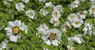 Белый цветок похожего на дерев suffruticosa Paeonia пиона стоковая фотография rf