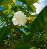 Белый цветок среди зеленых листьев Стоковое Изображение