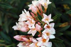 Белый цветок с зеленой предпосылкой Стоковая Фотография