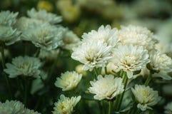 Белый цветок хризантемы зацветает в саде Стоковое Изображение RF