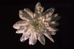 Белый цветок хризантемы на черноте стоковое изображение rf