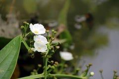 Белый цветок цветения наконечника стрелы Ameson на стороне канала Это аквариумное растени стоковое изображение
