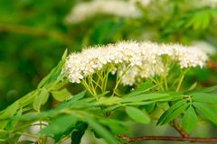 Белый цветок ashberry Стоковое Изображение