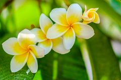 Белый цветок Frangipani или Plumeria Стоковое Изображение RF