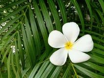 Белый цветок frangipani на зеленой предпосылке лист стоковые изображения rf