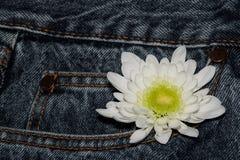 Белый цветок gerbera в кармане грубых джинсов Красивый цветок на предпосылке текстуры джинсовой ткани пустой дизайн в стиле стоковое фото rf