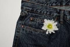 Белый цветок gerbera в кармане грубых джинсов Красивый цветок на предпосылке текстуры джинсовой ткани джинсы на чистой белой пред стоковые изображения rf