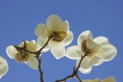 Белый цветок Yulan Стоковые Фото