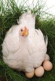 Белый цыпленок на траве стоковые фотографии rf