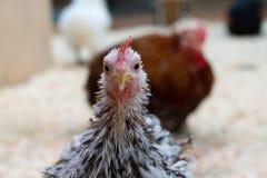 Белый цыпленок со слепыми пятнами на ферме стоковые фото